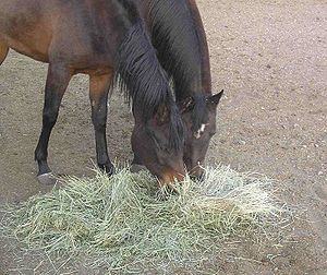 Two horses eating hay